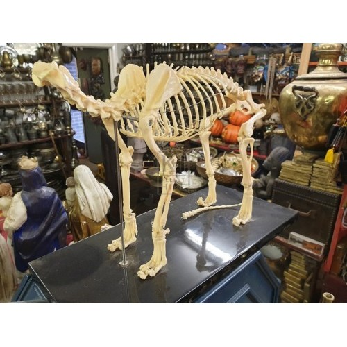 Animal skeleton on plinth