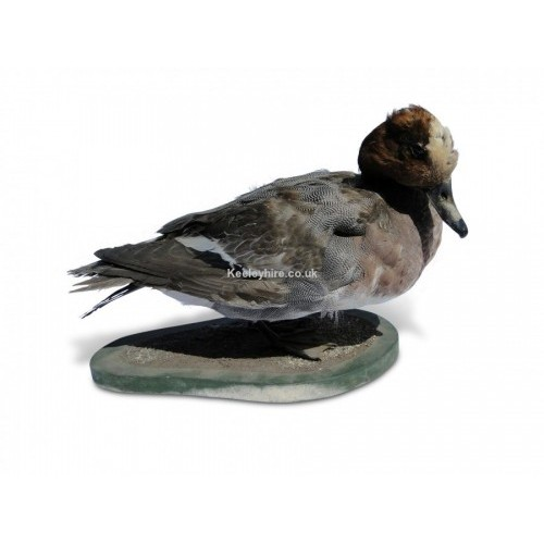Duck - Widgeon