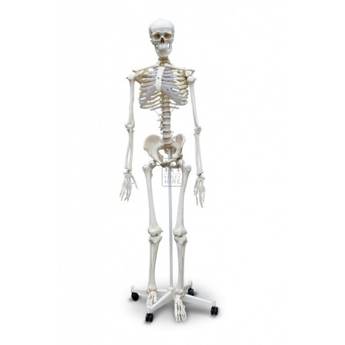 Figure - Skeleton