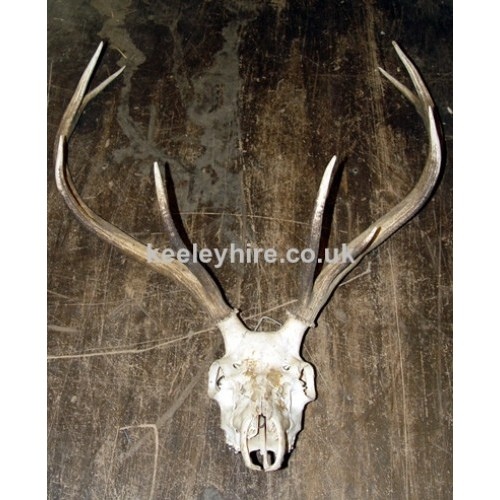Stags Antlers with skull