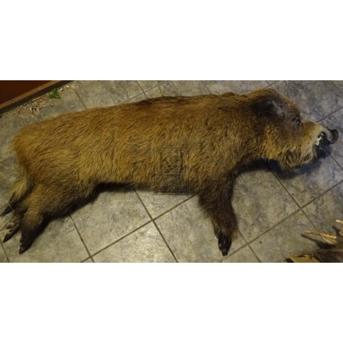 Large stuffed boar