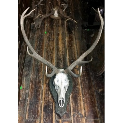 Large antlers on skull on wood plaque