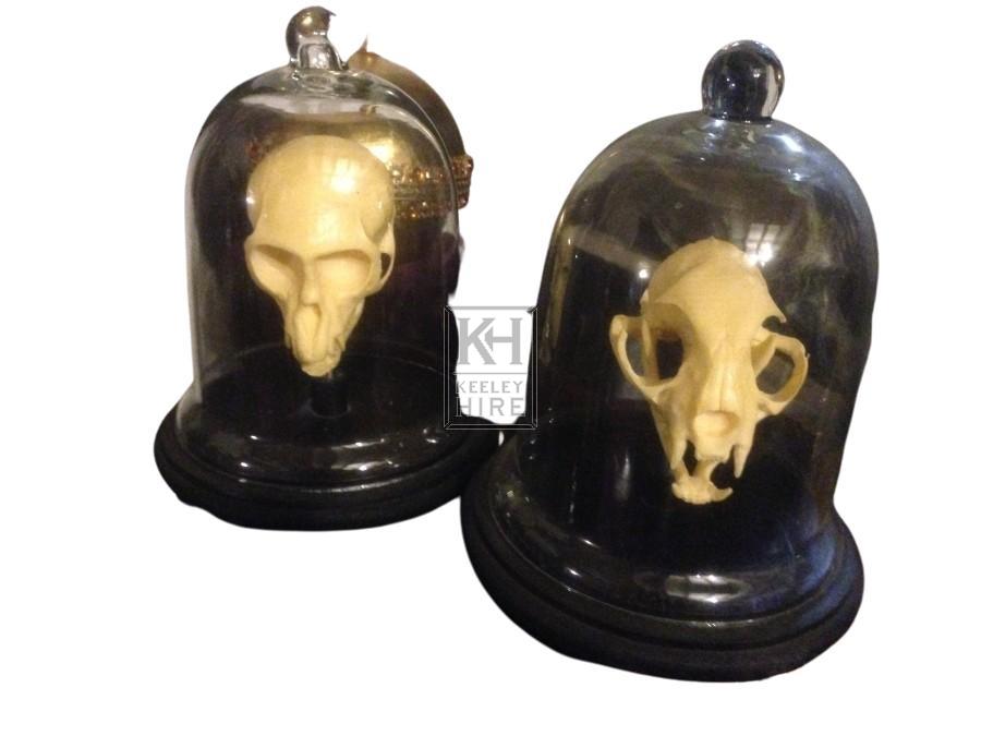 Glass Domed Specimen Skull