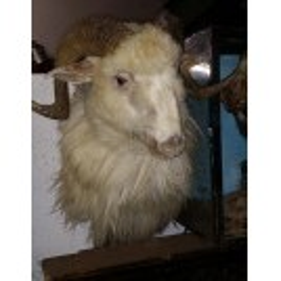 Twisted horn sheep head