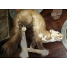 Taxidermy ferret