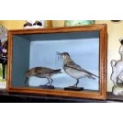 Small taxidermy birds in display case