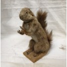 Taxidermy standing squirrel