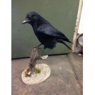Stuffed crow with wings open