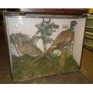 Pheasants in glass display case