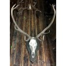 Large antlers on skull on wood plaque
