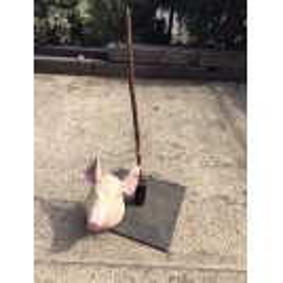 Pigs Head on Pike