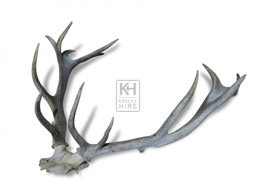 Large Antlers on Piece of Skull