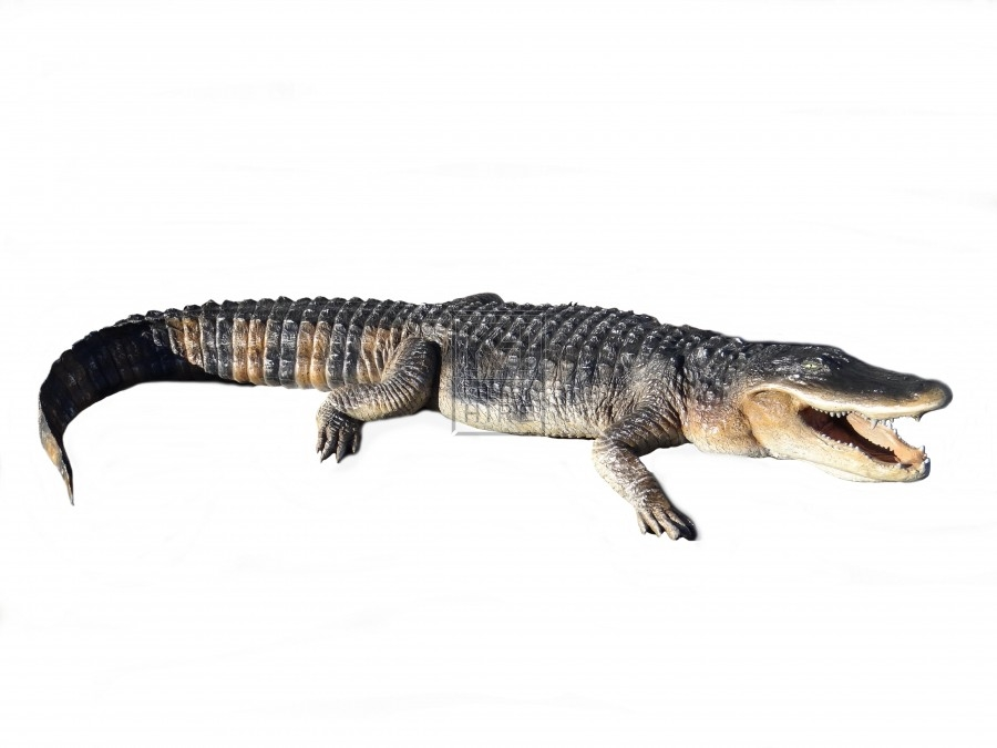 American Alligator 8ft